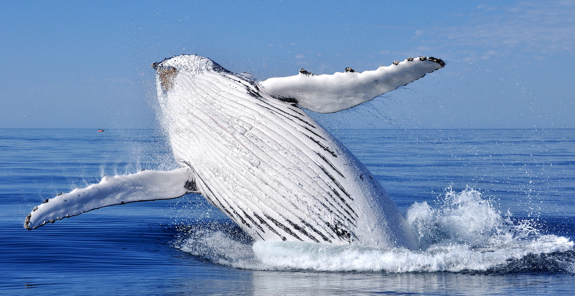 Best places to visit in Ecuador: Whale Breaching