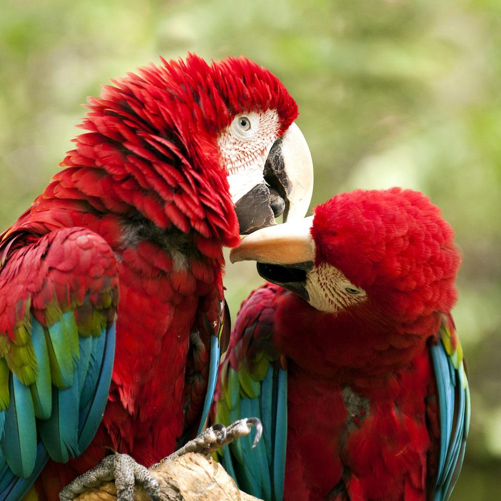 Peru tours: Amazon Parrot
